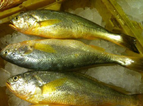 中鹿岛大黄鱼